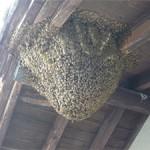 大屋根の軒先への営巣2